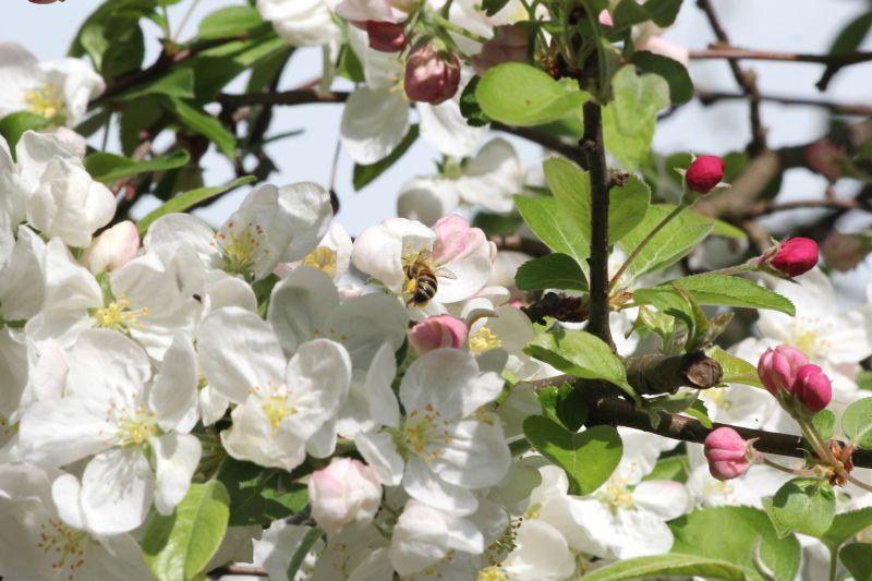 Bienen bestäuben unsere Obstbäume